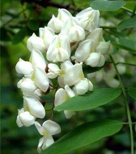 цветки акации