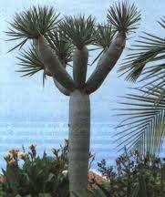 Angosturovoe drevo