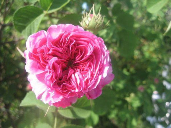 Чайная роза: полезные свойства и рецепт ликера