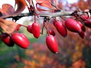 Чем полезны ягоды кизила и какие напитки можно приготовить из них