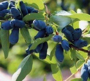 Чем полезны ягоды жимолости и какие напитки можно приготовить из них