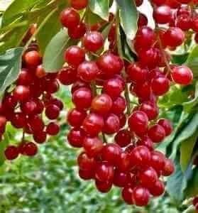 Настойка из красной черемухи на водке получается сладкой и вкусной