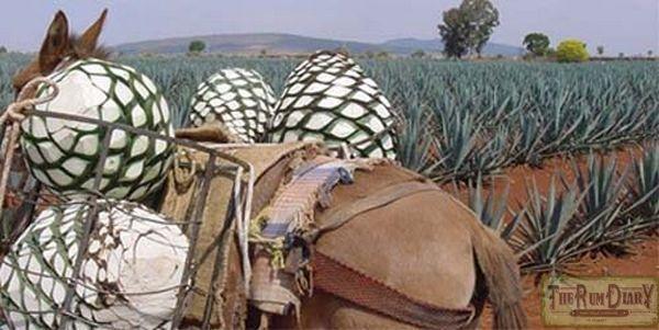 Сырья для производства текилы