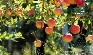 jablana s sadjem