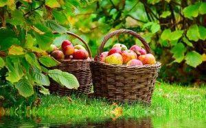 Jabolka v košaro