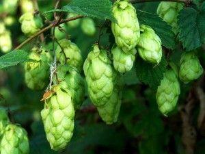 Хмель обыкновенный – польза, противопоказания и напитки из него