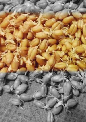 Зеленый солод из пшеницы - пророщенные зерна пшеницы для соложения зерновой браги.