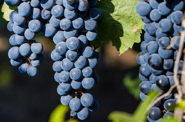 фото ягод винограда сорта каберне совиньон