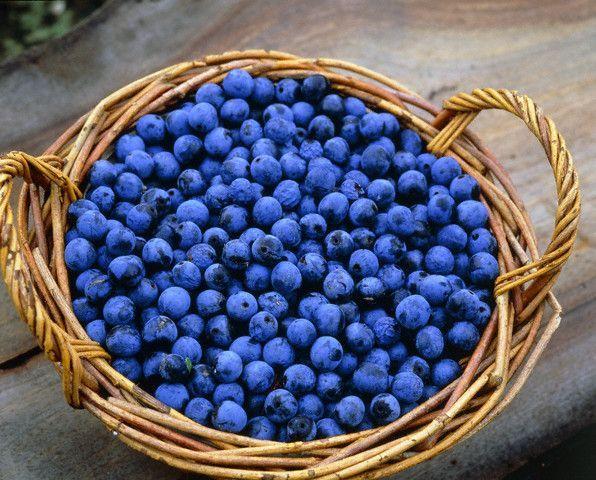 Терновка — целебные плоды