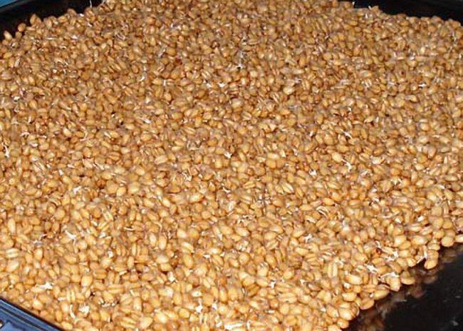 Пророщенное зерно высушить в духовке