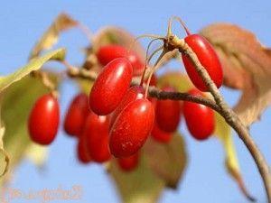 Настойка из ягод кизила