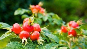 Настойка шиповника – целебные свойства дикой розы