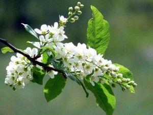 цветущая веточка черёмухи