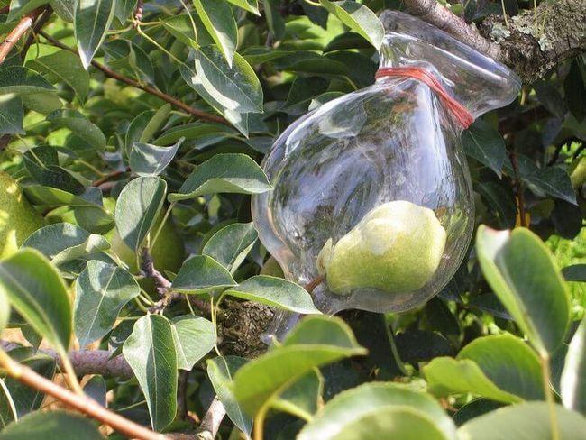 Французский ликер «Плененная груша» готовится именно так - грушу просто выращивают сразу в бутылке.