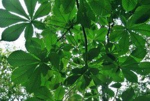listje divjega kostanja