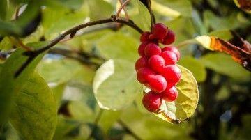 Панацея от усталости — настойка лимонника