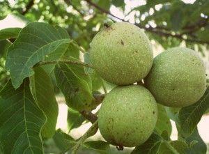 zelenih orehov na drevesu