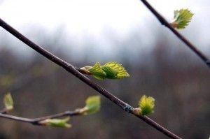 breza brsti