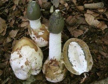 Применение настойки гриба веселка