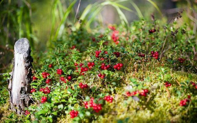 Ягоды брусники в дикой природе - самое для приготовления брусничной настойки на водке и спирту.