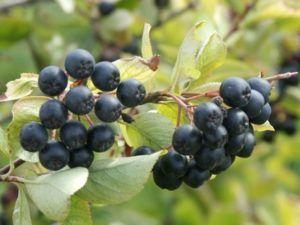 Рецепт домашнего вина из рябины