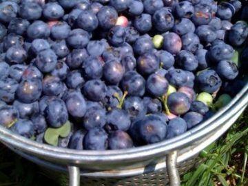 Рецепт вина из голубики в домашних условиях