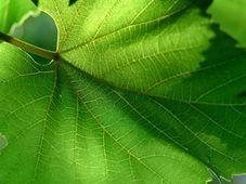 Рецепт вина из листьев винограда, вишни и смородины