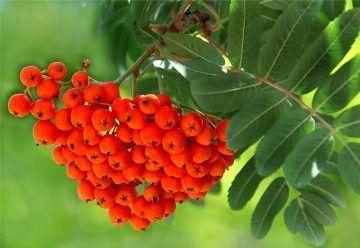 Самогон и брага из черноплодной и красной рябины