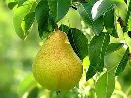 Moonshine Pear
