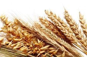 Самогон из пшеницы: рецепт