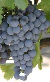 sorte grožđa Isabella