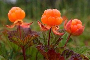 ягоды морошки