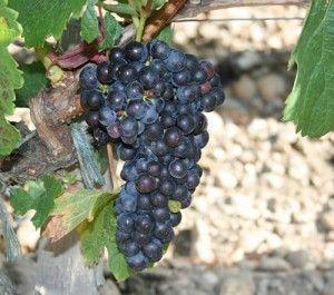 виноград Каберне Совиньон