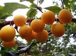 Vin de prune de cireșe