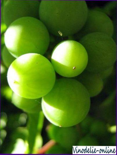 Вино из неспелого винограда