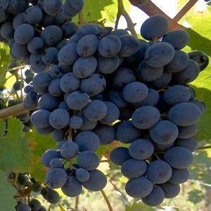 grožđe Doina