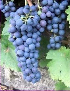 Виноград «саперави»