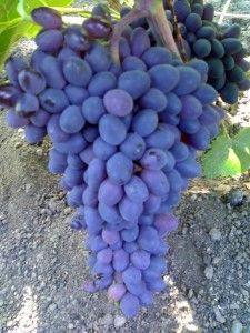 Виноград таир